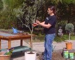 Cómo sanear un olivo - Paso 6