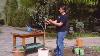 Recuperar olivo - Paso 6