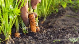 cultivar zanahoria