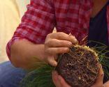Reverdecer un camino de losetas con ophiopogon - Reserva de agua en forma de pequeños bulbos
