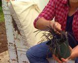 Reverdecer un camino de losetas con ophiopogon - Ophiopogon japonicus nigrescens