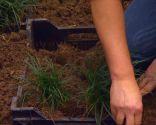 Reverdecer un camino de losetas con ophiopogon - Paso 3