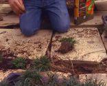 Reverdecer un camino de losetas con ophiopogon - Paso 5