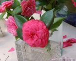 Variedades de camelias según su flor - Flor de camelia compuesta