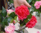 Variedades de camelias según su flor - Camelias flor de peonia