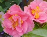 Variedades de camelias según su flor - Camelias de flor semidoble
