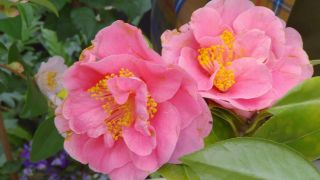 Camelias de flor semidoble