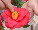 Variedades de camelias según su flor - Camelia de flor simple