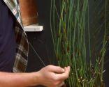 Restio planta rústica - Brotes del Restio