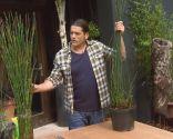Restio planta rústica - Similar a la Cola de caballo