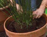 Restio planta rústica - Trasplante