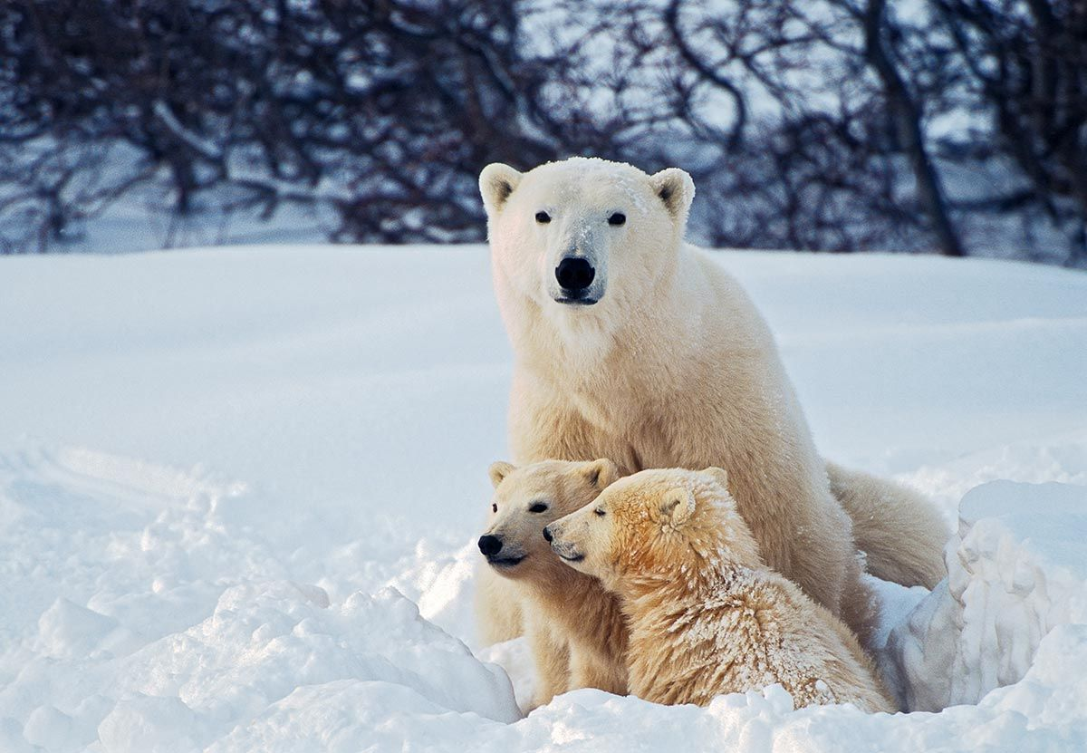 madres reino animal - oso polar