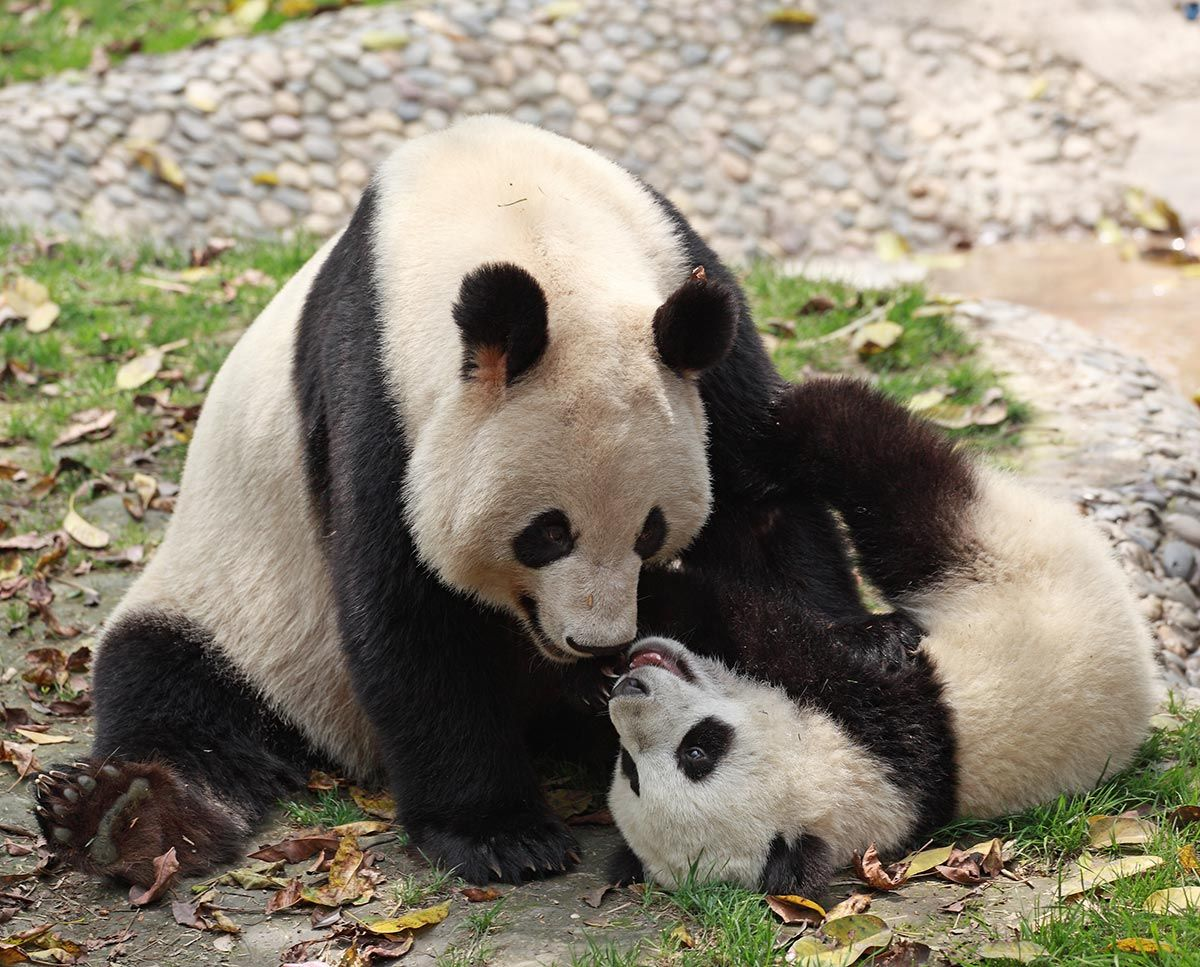madres reino animal - oso panda