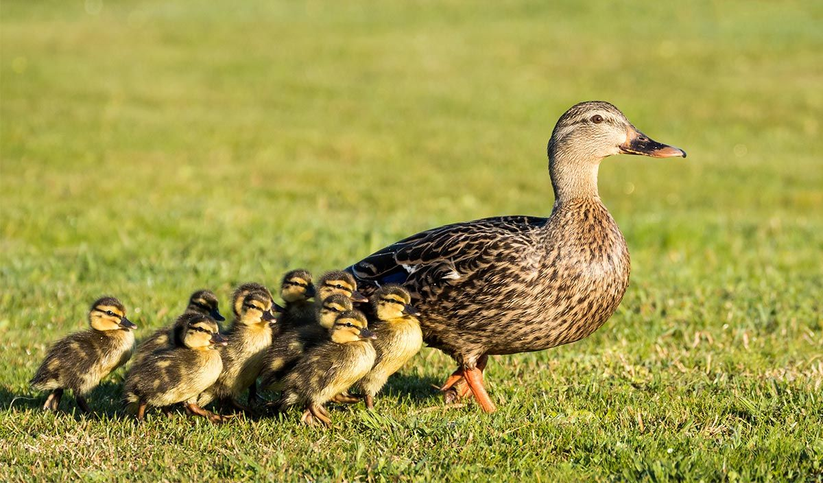 madres reino animal - patos