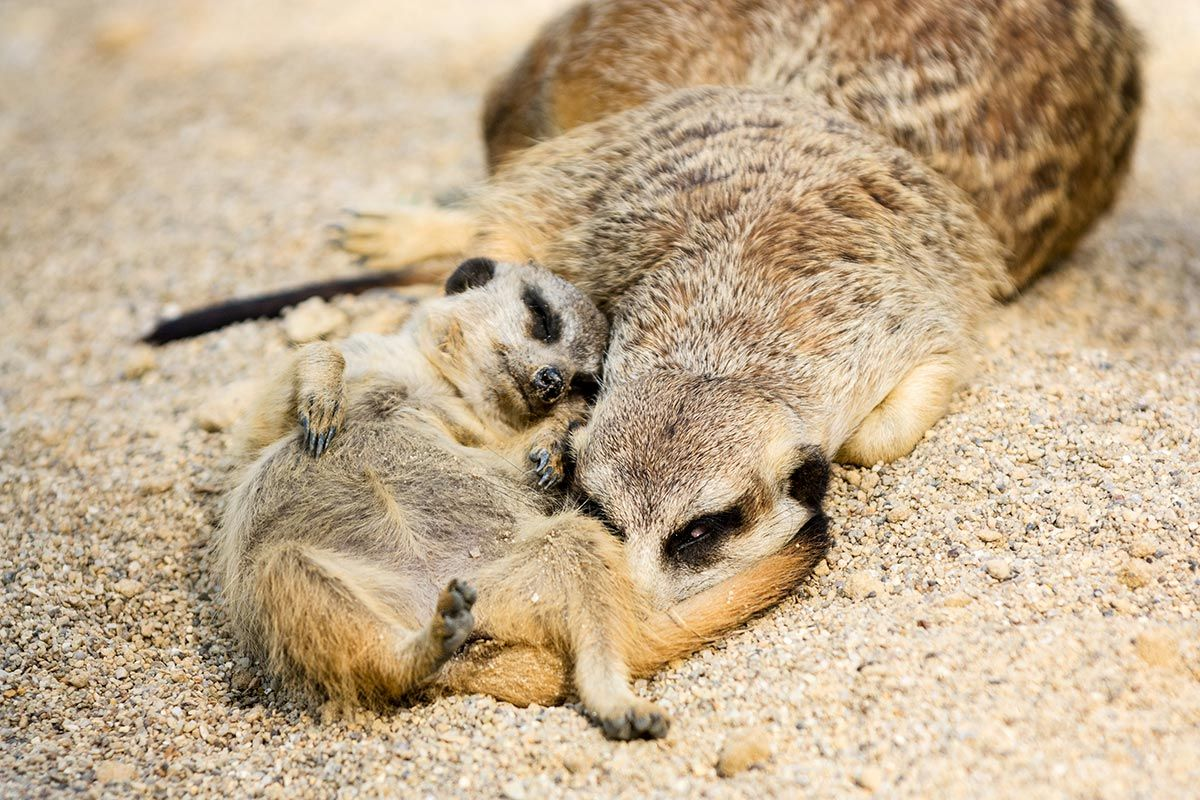 madres reino animal - suricata