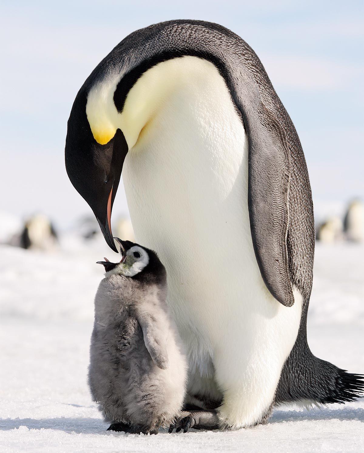 madres reino animal - pingüino emperador