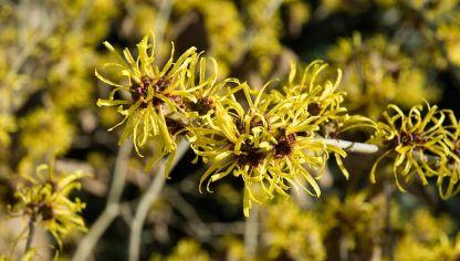 6 plantas medicinales contra las varices - Hogarmania
