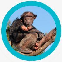 animales inteligentes - chimpancé