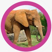 animales inteligentes elefante