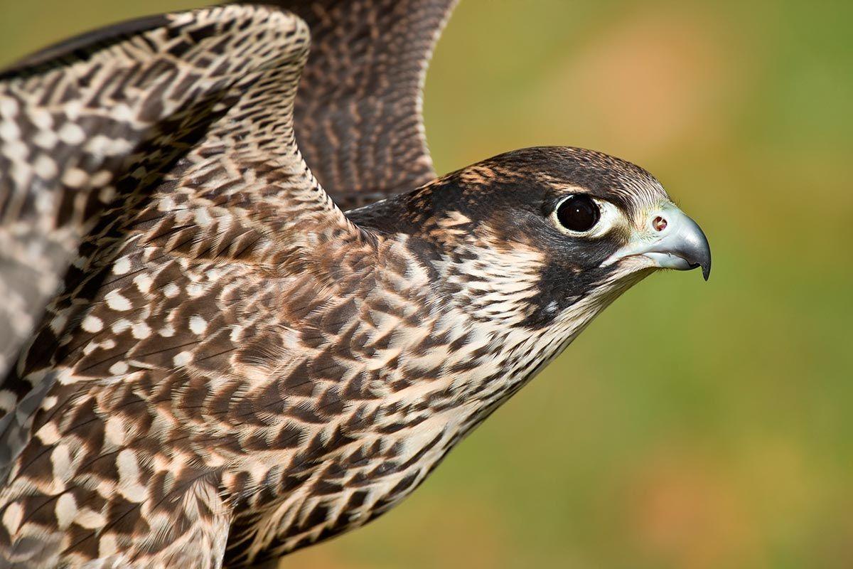 visión halcón peregrino