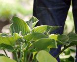 Variedades de hostas o hermosas - Hojas con ribete amarillo