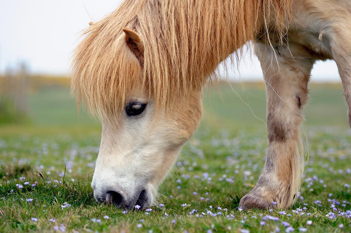 caballo miniatura poni
