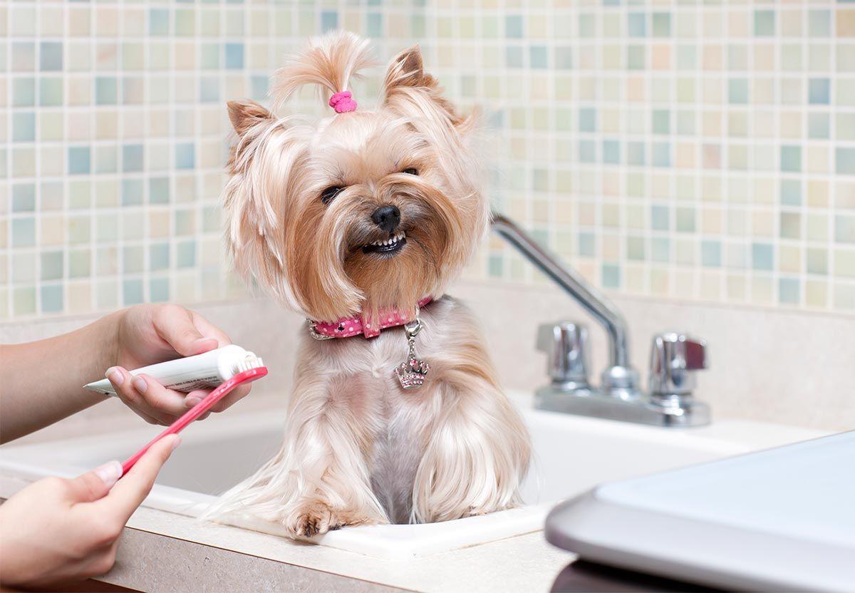 cepillar dientes perros