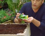 Plantar hierbas aromáticas en mesas de cultivo - La albahaca