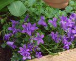 Plantar hierbas aromáticas en mesas de cultivo - Flores comestibles