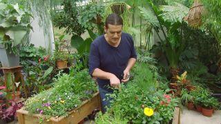 Plantar hierbas aromáticas en mesas de cultivo - Cilantro