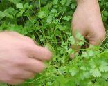 Plantar hierbas aromáticas en mesas de cultivo - Perejil