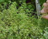 Plantar hierbas aromáticas en mesas de cultivo - Tomillo
