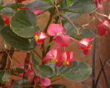 Composición floral en tonos fucsia con iresines - Begonia dragón