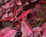 Composición floral en tonos fucsia con iresines - Iresines
