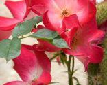 Diferentes plantas para decorar fachadas - Rosal trepador