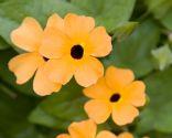 Diferentes plantas para decorar fachadas - Thunbergia