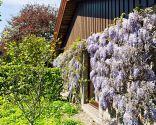Diferentes plantas para decorar fachadas - Wisteria