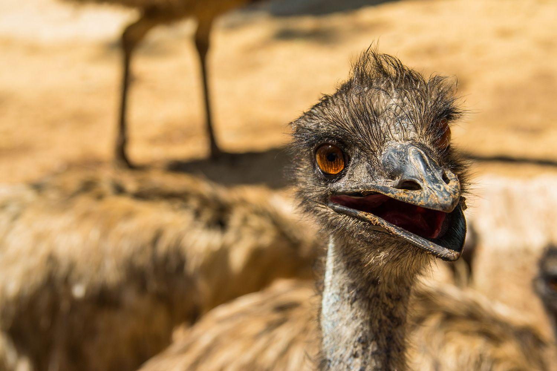 Emú animal