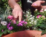 Flores comestibles - Clavelina