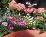 Flores comestibles - Pétalos de rosa