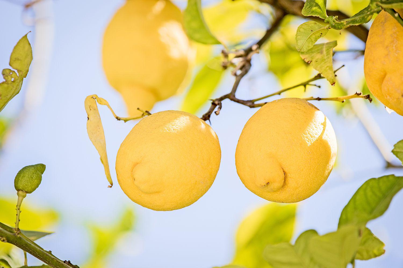 hojas del limonero con clorosis