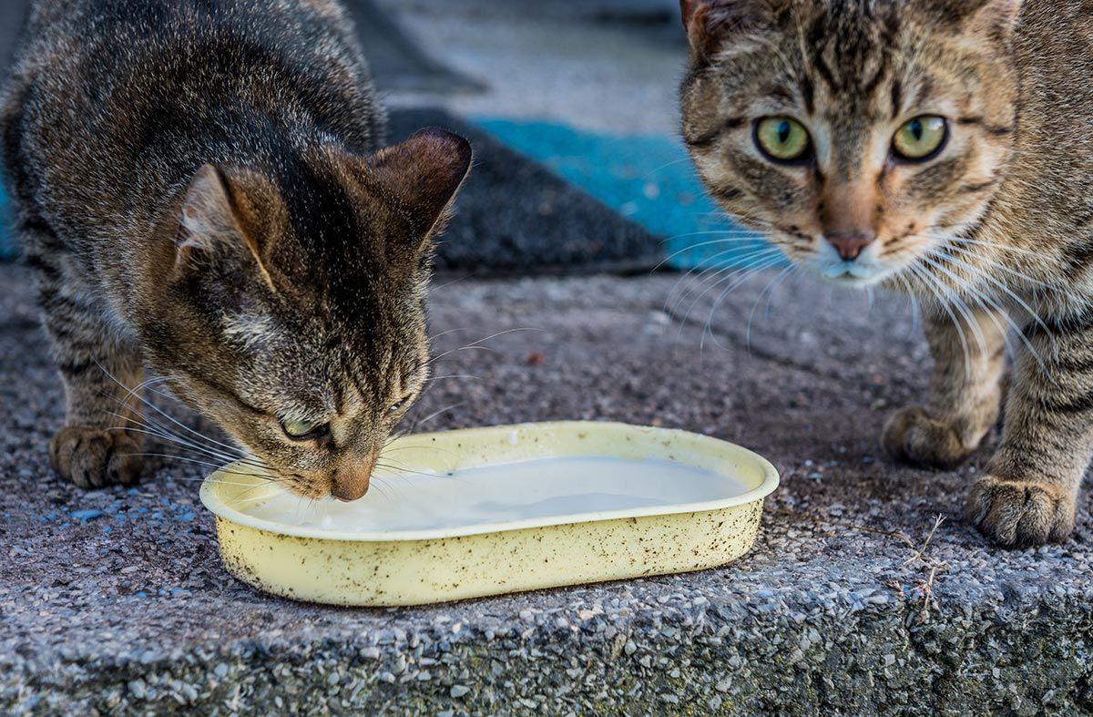 gatos adultos beber leche