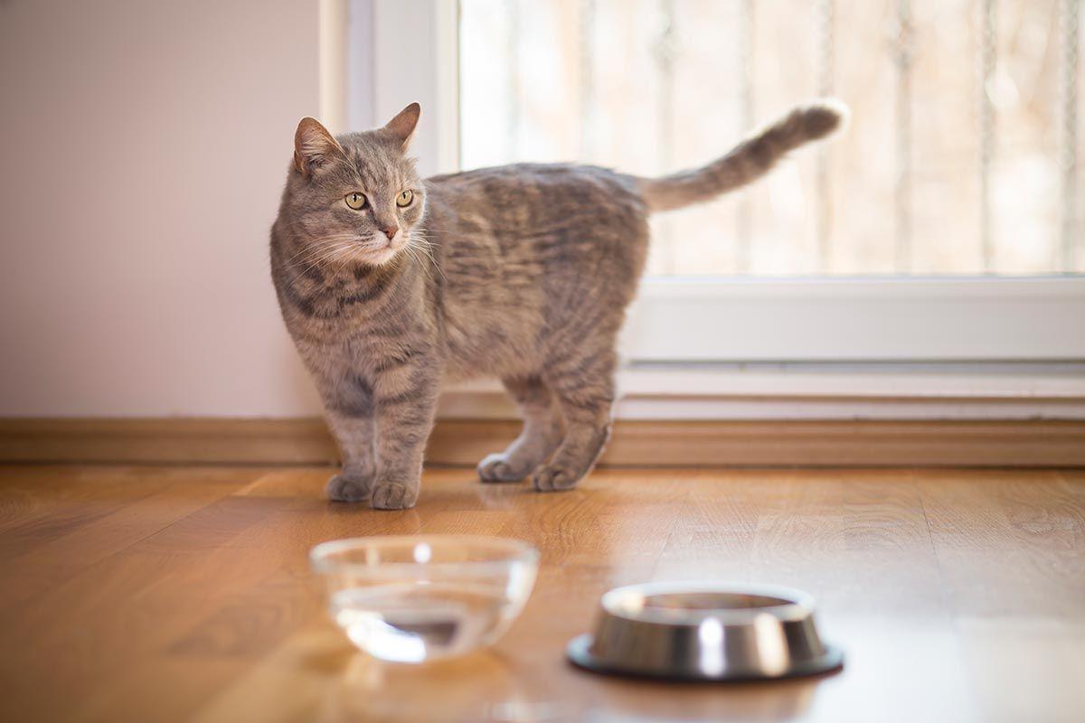 hidratación gato comida