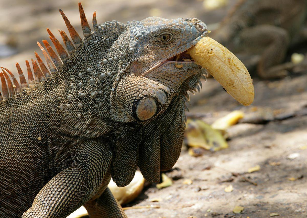 iguanas alimentación frutas