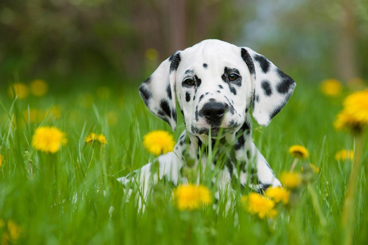 dálmata perros raza