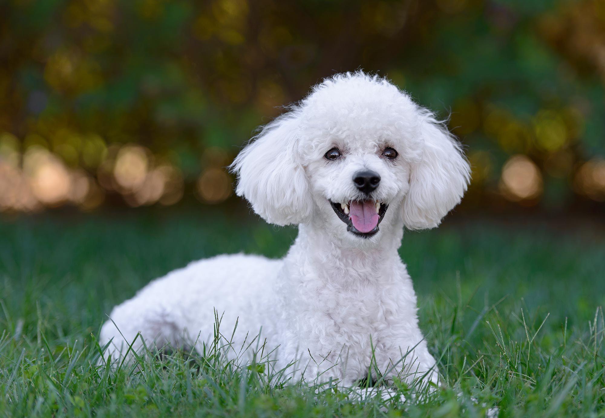 caniche raza perro