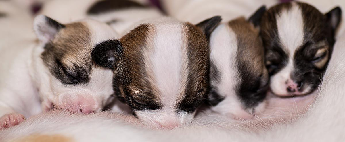 perros lactantes