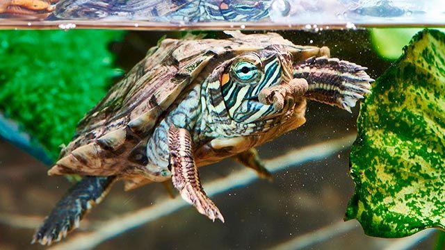 tortugas agua alimentación