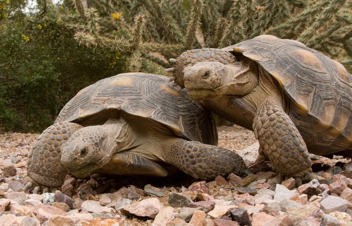 tortugas reproducción