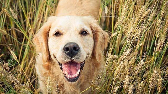 perros alergia gluten